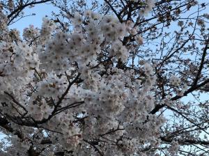 お花見 190510 0001